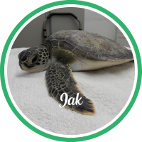 Open Jak's sea turtle patient page.