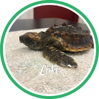 Open Loki's sea turtle patient page.