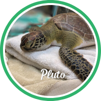 Open Pluto's sea turtle patient profile.
