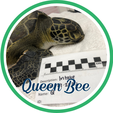 Open Queen Bee's sea turtle patient profile.