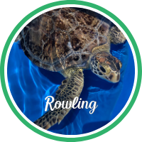 A green sea turtle swimming in a rehabilitation tank.