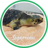 Open Supernova's sea turtle patient profile.