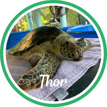 Open Thor's sea turtle patient profile.