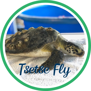 Open Tsetse Fly's sea turtle patient profile.