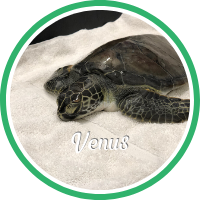 Open Venus's sea turtle patient profile.