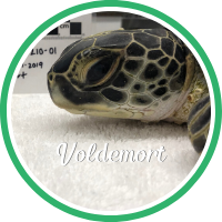 Open Voldemort's sea turtle patient profile.