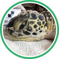 Open Weasley's sea turtle patient profile.