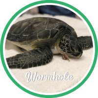 Open Wormhole's sea turtle patient profile.