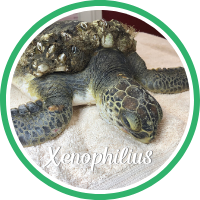 Open Xenophilius's sea turtle patient profile.