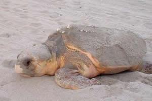 loggerhead sea turtle on beach