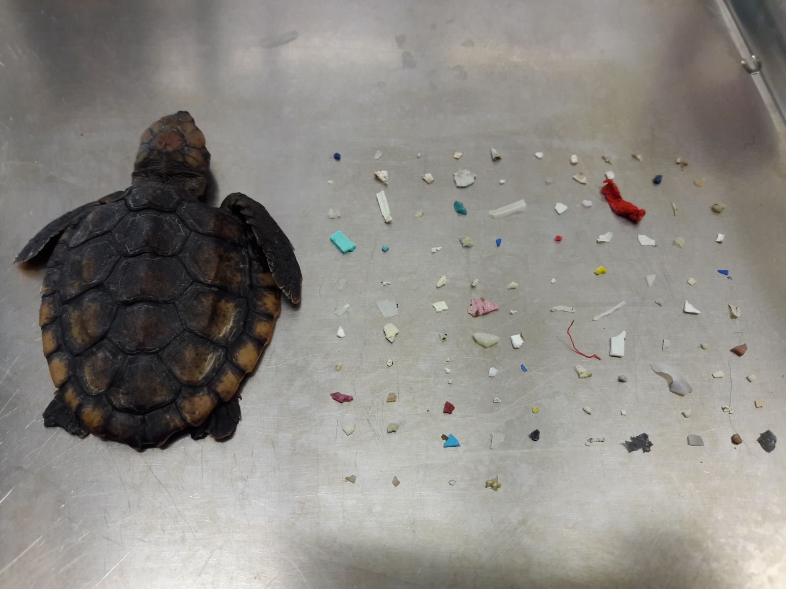 Washback Sea Turtle with Microplastics