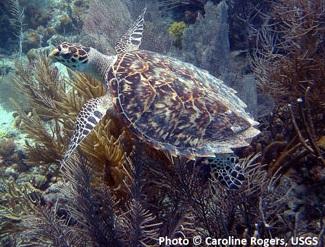 haeksbill sea turtle swimming in ocean by coral reef